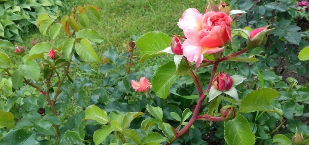 кораловая роза.jpg
