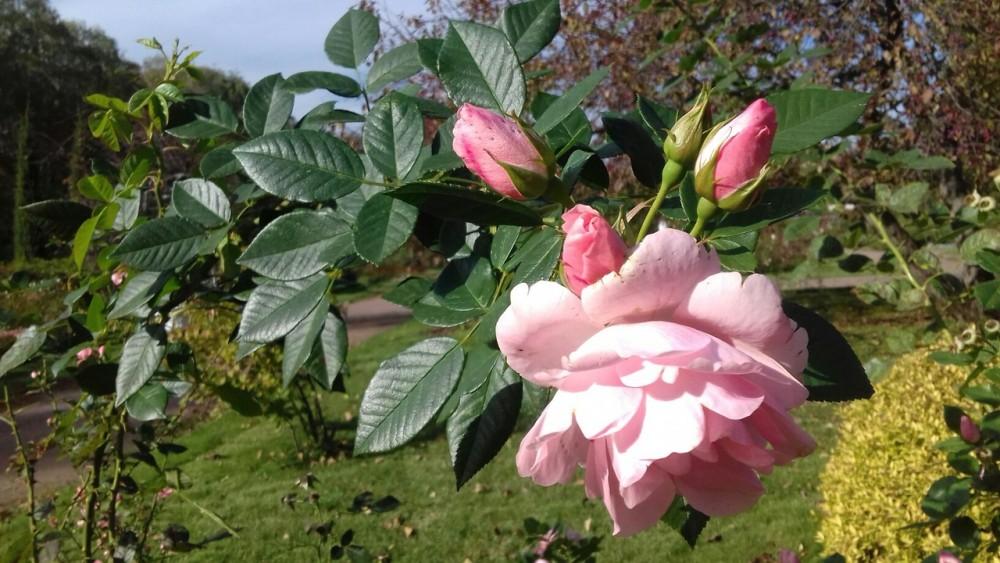 розовая роза.jpg