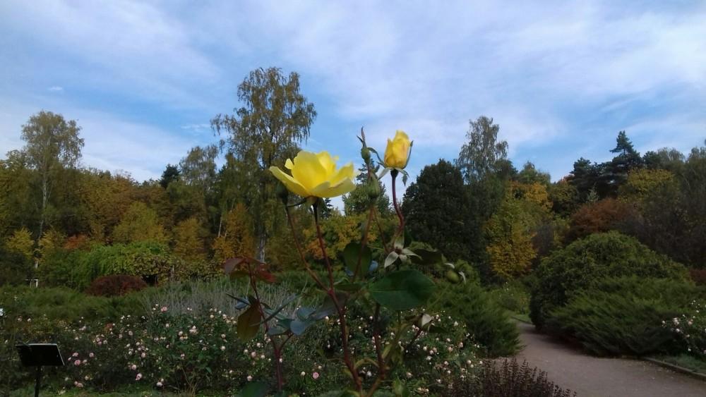 желтая роза в небе.jpg