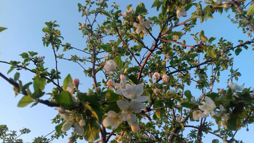 утро яблони.jpg