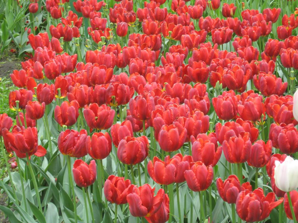 Тюльпаны_19_071.jpg