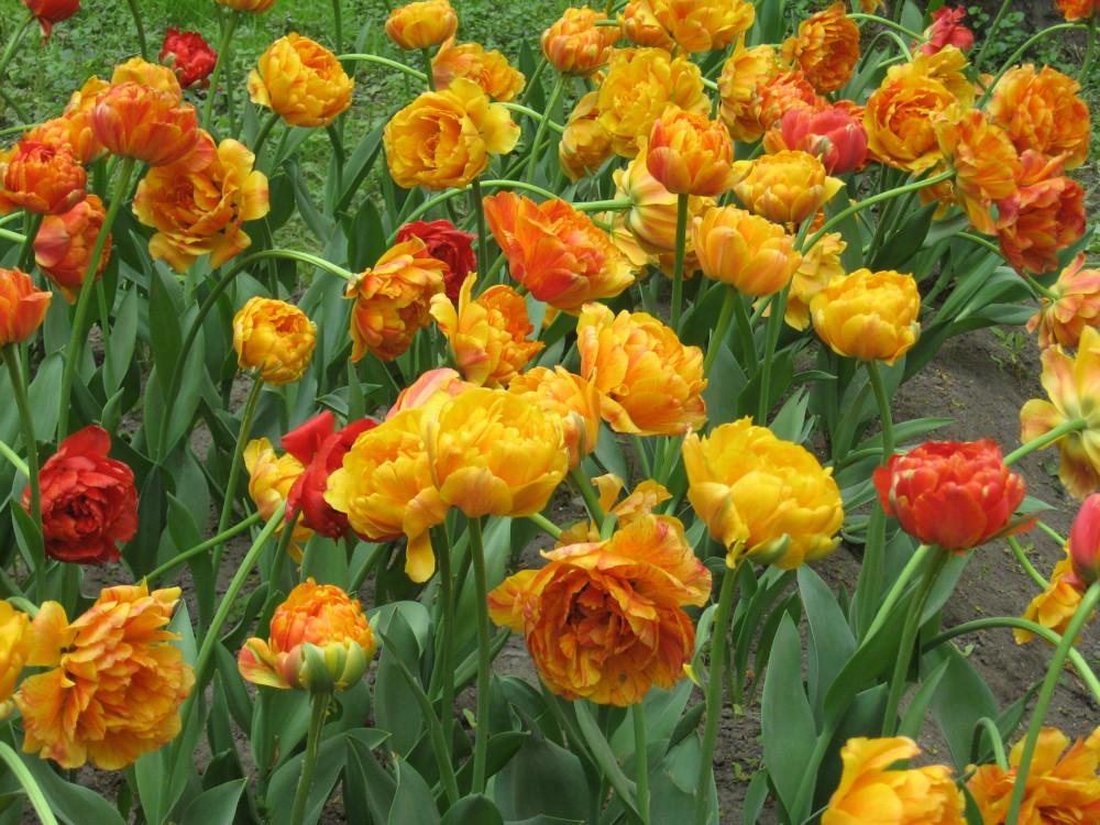 Тюльпаны_19_158.jpg