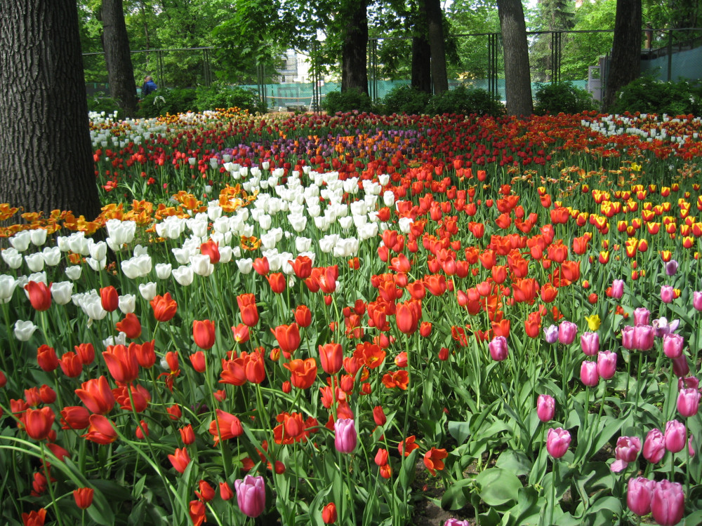 Тюльпаны_19_211.jpg