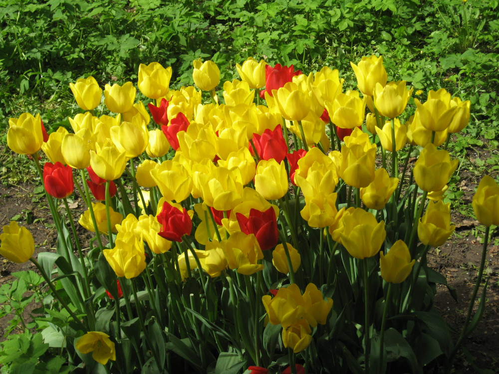 Тюльпаны_19_245.jpg